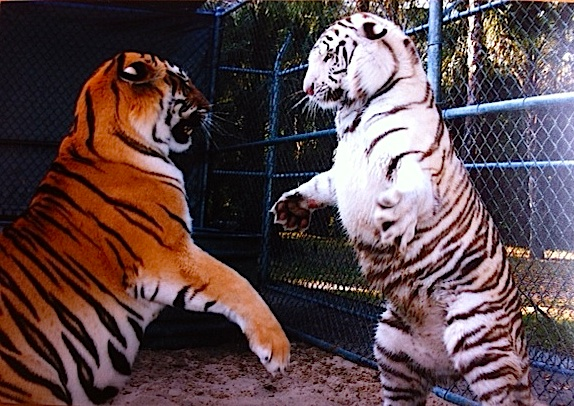 rearing tigers