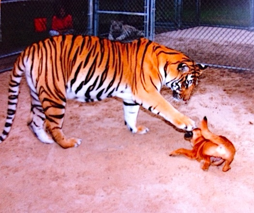 tiger and dog play